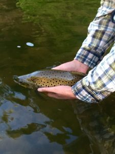 A beautiful fall brown from the Grand River tail water.