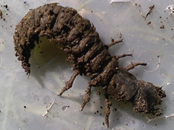 Hellgrammite.  Big, mean and ugly!