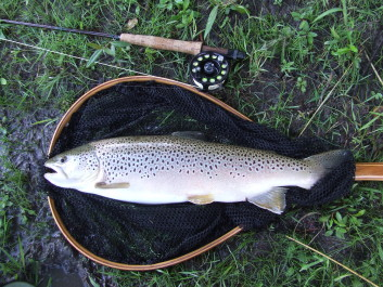 A large late season brown.